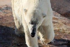 Close-up полярного медведя в зверинце Стоковая Фотография