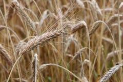 Close-up поля пшеницы Стоковое фото RF