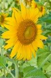 Close-up солнцецвета Стоковое Изображение RF