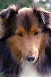 Close-up 3 van Sheltie Royalty-vrije Stock Afbeeldingen