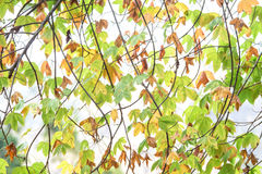 Abstract background of yellow and green in autumn on white sky Stock Photo