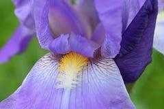 Close-up abstract beeld van de purpere bloem van irisirideae in plattelandshuisjetuin Bloemen van de de lente de macro openlucht  Royalty-vrije Stock Foto