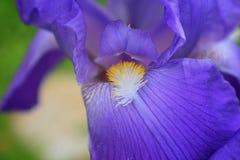 Close-up abstract beeld van de purpere bloem van irisirideae in plattelandshuisjetuin Bloemen van de de lente de macro openlucht  Royalty-vrije Stock Fotografie