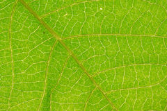 Close-up Abstract green leaf texture for background Stock Images