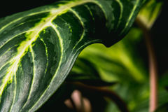 Close up abstract of stripey leaves of an indoor plant. In vivid color Stock Image