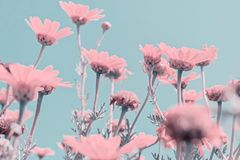 Close up abstract surrealism pink flowers. On blue sky pastel color Royalty Free Stock Images
