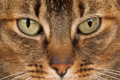 Close up of a Abyssinian Royalty Free Stock Photography