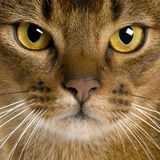Close up of a Abyssinian (9 months old) Royalty Free Stock Images