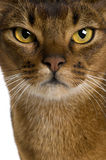 Close up of a Abyssinian (9 months old) Stock Photo