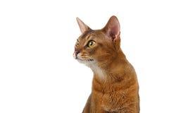Close-up Abyssinian Cat Curiously Looking bij linkerzijde op Wit wordt geïsoleerd dat royalty-vrije stock foto's
