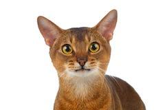 Close-up Abyssinian Cat Curiously Looking op Wit in camera wordt geïsoleerd dat royalty-vrije stock afbeelding