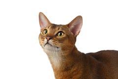 Close-up Abyssinian Cat Curiously Looking op Wit omhoog wordt geïsoleerd dat stock foto