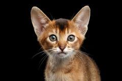 Close-up Abyssinian Kitty Curious Looking in camera, Geïsoleerd Zwarte Achtergrond royalty-vrije stock fotografie