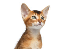Close-up Abyssinian Kitty Curious Looks, Isolated White Background Stock Image