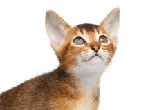 Close-up Abyssinian Kitty Curious Looks, Isolated White Background Stock Photos