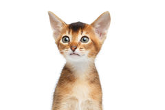 Close-up Abyssinian Kitty Curious Looks, Isolated White Background Royalty Free Stock Photography