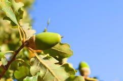 Close up of acorn Royalty Free Stock Photo