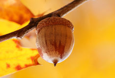 Close up of acorn Royalty Free Stock Photography