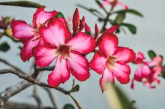 Close up adenium flowers in nature royalty free stock photo