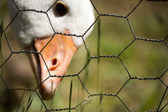 Close up of adolescent white goose reaching for grass through ch royalty free stock images