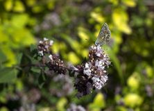 Close-up of Adonis Blue Butterfly Polyommatus bellargus on Oregano Flower Origanum vulgare stock images