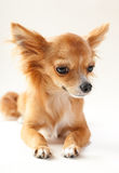 Close-up adorável do cão da chihuahua Imagem de Stock Royalty Free