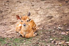 Adorable baby dear sitting on ground with green grass and looking at camera , mammal animal on nature background. Close up Adorable baby dear sitting on ground stock photos