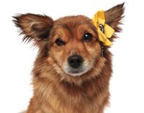 Close up of adorable brown dog with yellow flower headband. Close up of adorable brown furry dog with yellow flower headband on white background Stock Image