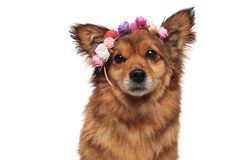Close up of adorable brown metis dog wearing flowers crown. Close up of adorable brown metis dog wearing colorful flowers crown on white background Stock Photography
