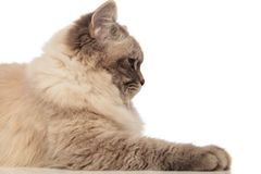 Close up of an adorable grey cat side view. Lying on white background Stock Image