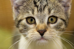 Close up of an adorable kitten. Close up of an adorable 12 weeks old kitten with an attentive view Royalty Free Stock Photography