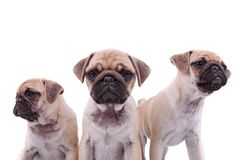 Close up of adorable pug group of three. Looking in different directions, on white background Stock Photography