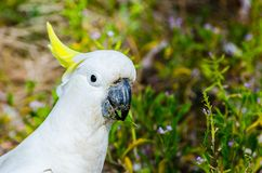 Close-up Adorable `sulphur-crested` cockatoo in the garden, eating some plants. A Close-up Adorable `sulphur-crested` cockatoo in the garden, eating some plants royalty free stock images