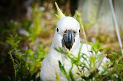 Close-up Adorable `sulphur-crested` cockatoo in the garden, eating some plants. A Close-up Adorable `sulphur-crested` cockatoo in the garden, eating some plants stock photo
