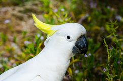 Close-up Adorable `sulphur-crested` cockatoo in the garden, eating some plants. A Close-up Adorable `sulphur-crested` cockatoo in the garden, eating some plants royalty free stock photos