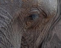 Close up of adult African Elephant`s face Syncerus caffer. Close up of adult African Elephant`s face, rough detail of eye, lashes and skin is visible. Location royalty free stock photography