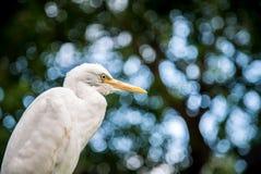 Adult bird white Egretta Garzetta on the tree. Little egret at Park Taipei city stock photography