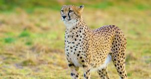 Close-up of adult cheetah looking after enemies stock footage