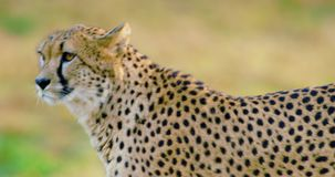 Close-up of adult cheetah walking in the grass stock footage