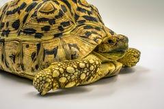 Adult Leopard Tortoise Stigmochelys pardalis on white background Royalty Free Stock Photos