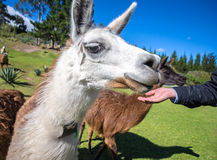 Close up of an adult llama. About to be fed Stock Photography