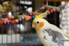 Close-up of an adult male Cockatiel tentatively looking at his owner.