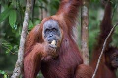 Close-up of an adult orangutan eats a banana (Bohorok, Indonesia Stock Image