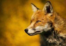 close up of an adult red fox portrait against colorful background Stock Photos