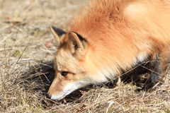 Close up of adult red fox Stock Images