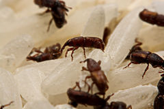Close up of adult rice weevils Sitophilus oryzae on rice grain Stock Photos