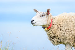 Close up of adult sheep with clean background. Close up of adult sheep with clean blue ocean in background Royalty Free Stock Photos