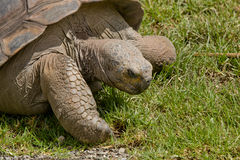 Close-up of a adult Tortoise. Showing face, head, and claw, on green grass stock image