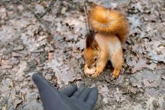 Close up of adults hand feeding squirrel in forest. Close up of adults hand in black protection gloves feeding cute hungry fluffy squirrel with walnut in a Stock Photo
