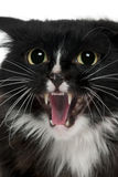 Close-up of Aegan Cat meowing. 3 years old, in front of white background Royalty Free Stock Images